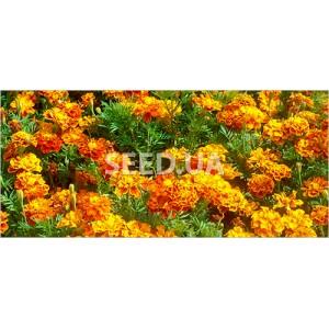 Chernovrivtsy (marigolds)