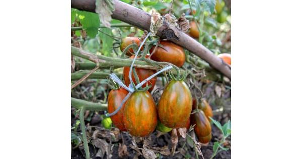 коллекционные семена томатов